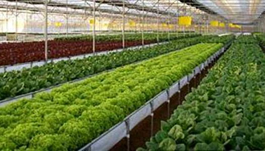 bk hydroponics 1 525x300 - Project Pages - Trident Horticulture
