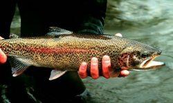 rainbow trout 250x150 - Affiliates