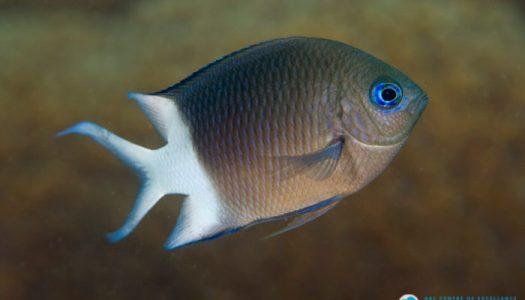 acanthochromis mg 2706 joao krajewski web 700x466 525x300 - Aquaculture Research - Reef Fish Temperature Study