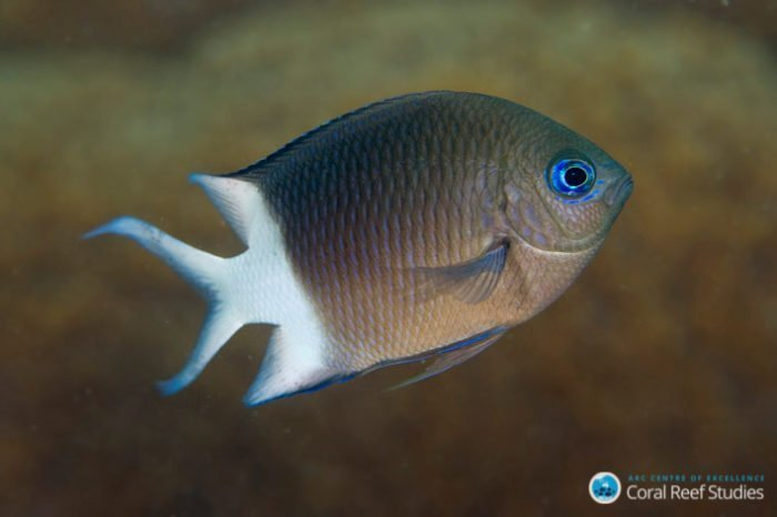 acanthochromis mg 2706 joao krajewski web 700x466 - Aquaculture Research - Reef Fish Temperature Study
