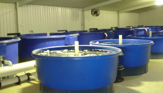 barramundi tanks 525x300 - Project Pages - Trident Aquaculture
