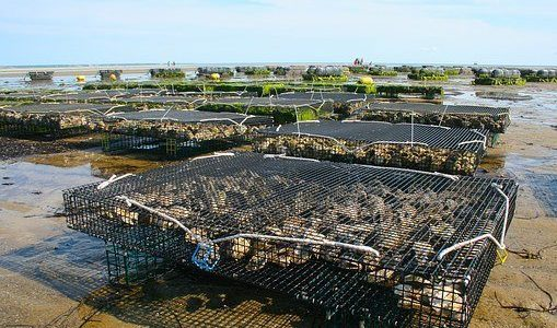 oyster farm 1404177  340 509x300 - Project Pages - Trident Aquaculture