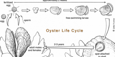 oyster life cycle 400x200 - Project Pages - Trident Aquaculture