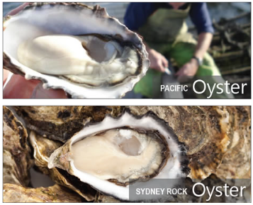 oysters - Project Pages - Trident Aquaculture
